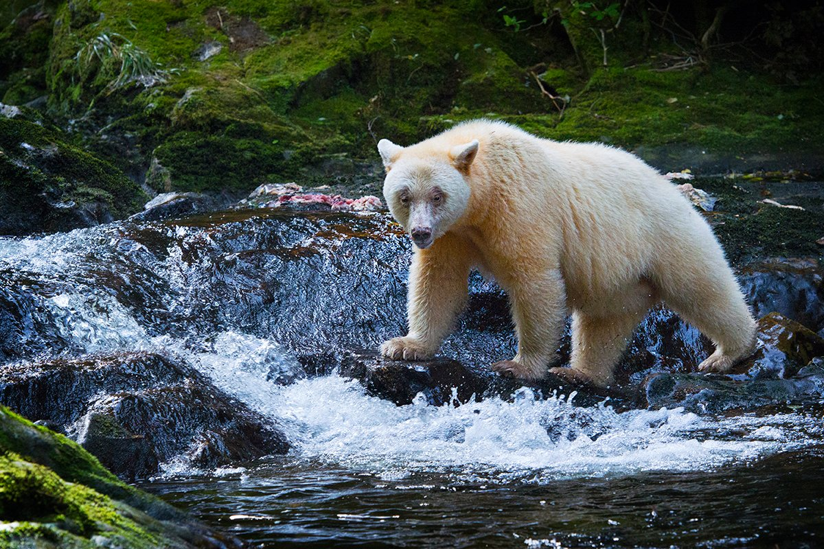 great bear rain forest Need a reason to visit great bear rainforest this our canada contributor has five: black bears, sea otters, bald eagles, humpbacks and orcas.