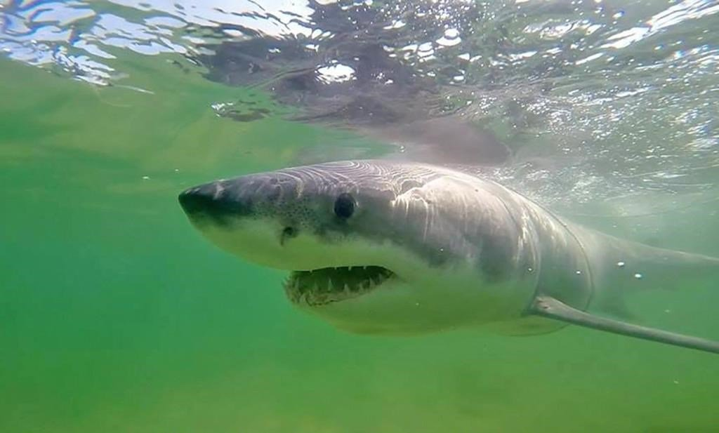 Off Canada's East Coast, a hunt to detect 'beautiful' great white