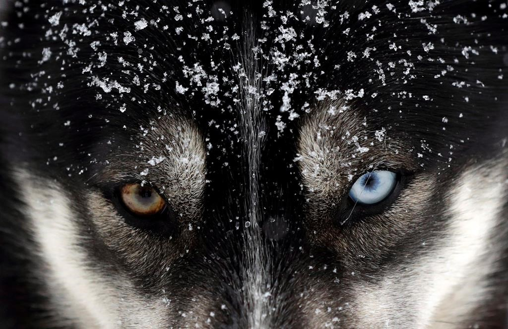 Federal government apologizes for historic sled dog killings in the