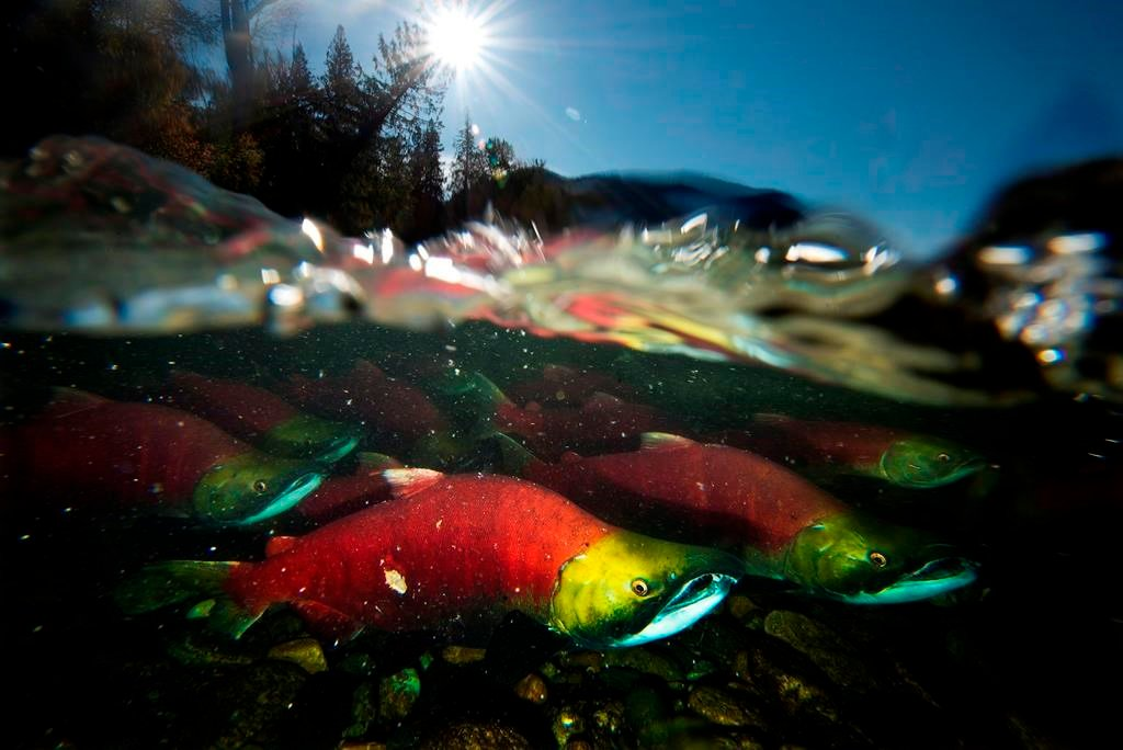 Sockeye returns plunge in B.C., official calls 2019 'extremely