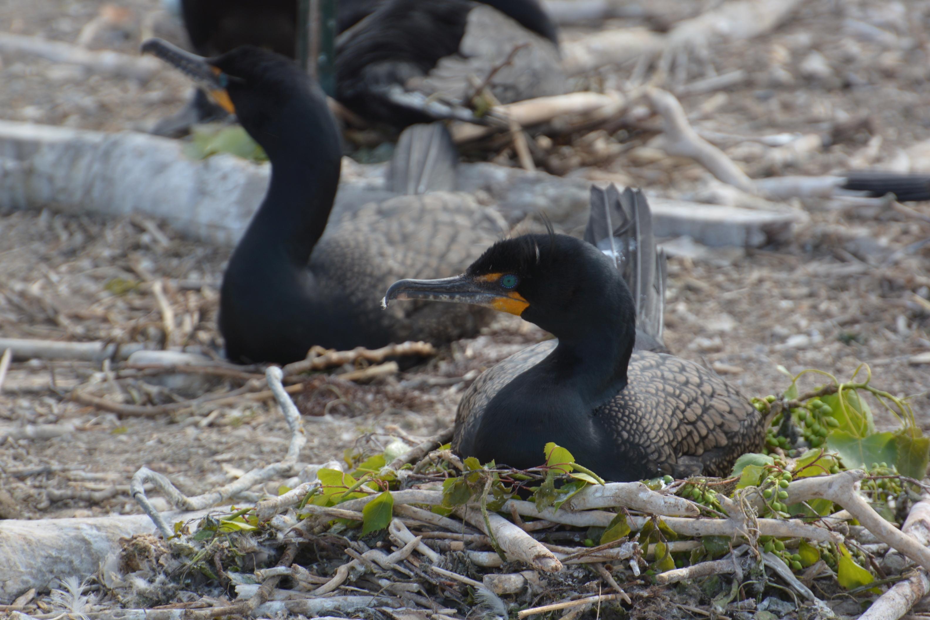 In Ontario, it's open season on cormorants. But is the hunt based on science?
