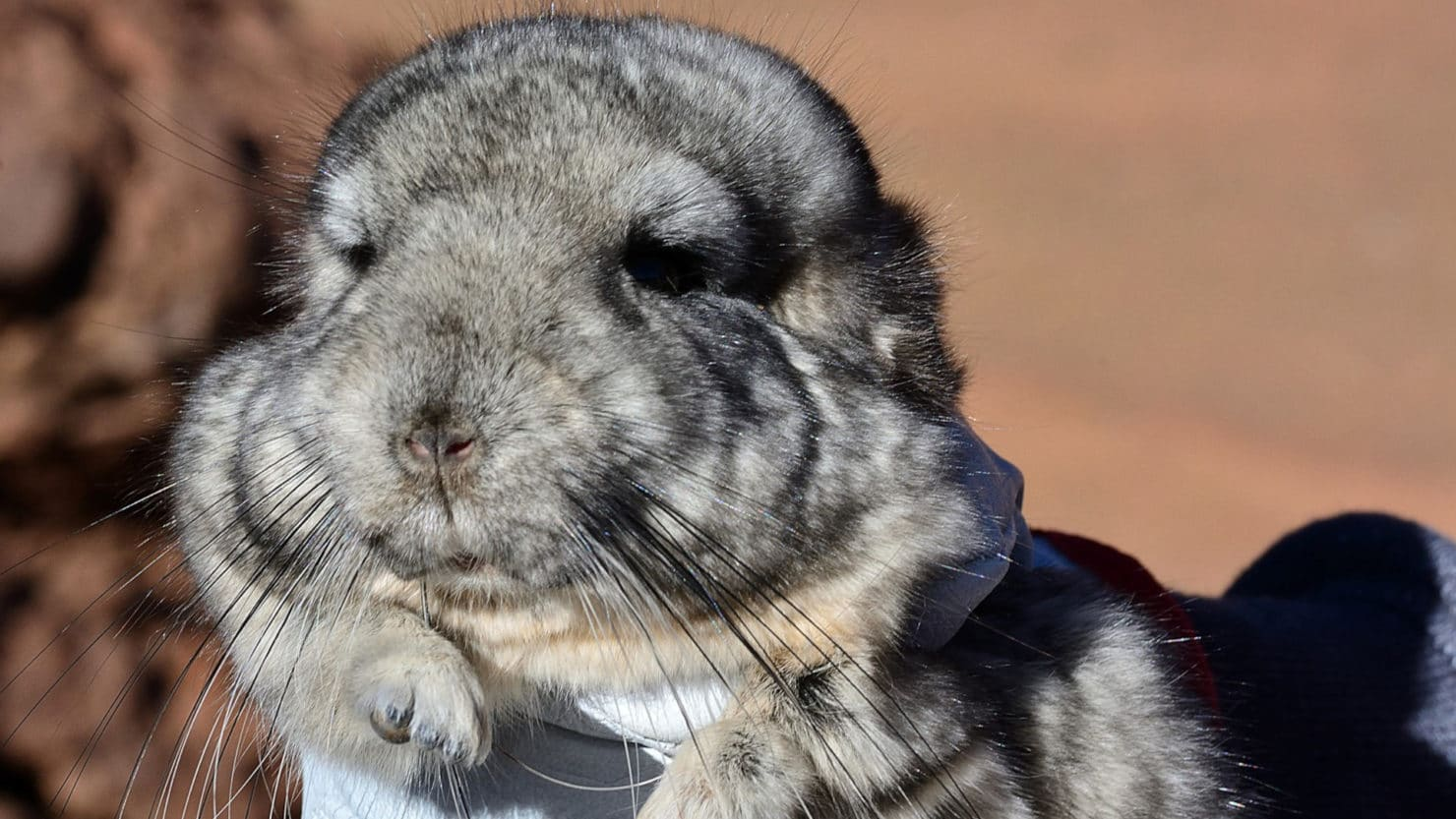 Operation chinchilla: How a mining company in Chile is trying to relocate rare rodents