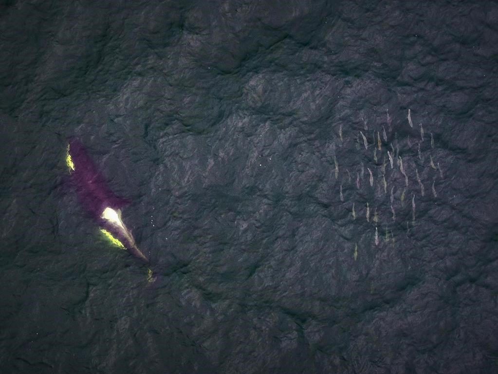 Coast guard pitches in with sightings reports to help protect B.C. orcas