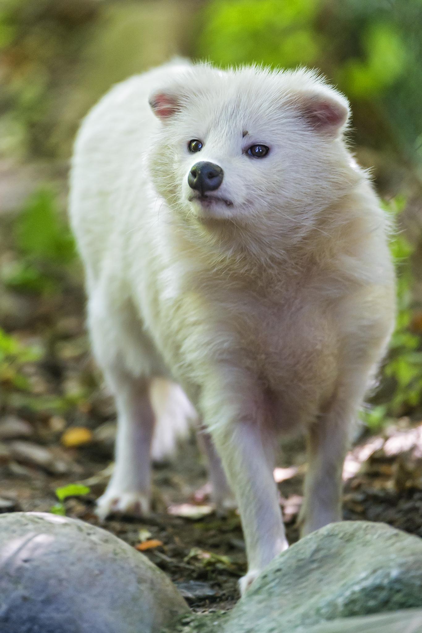 raccoon dog, Asiatic raccoon, fur industry, fur trade, China, fur farm