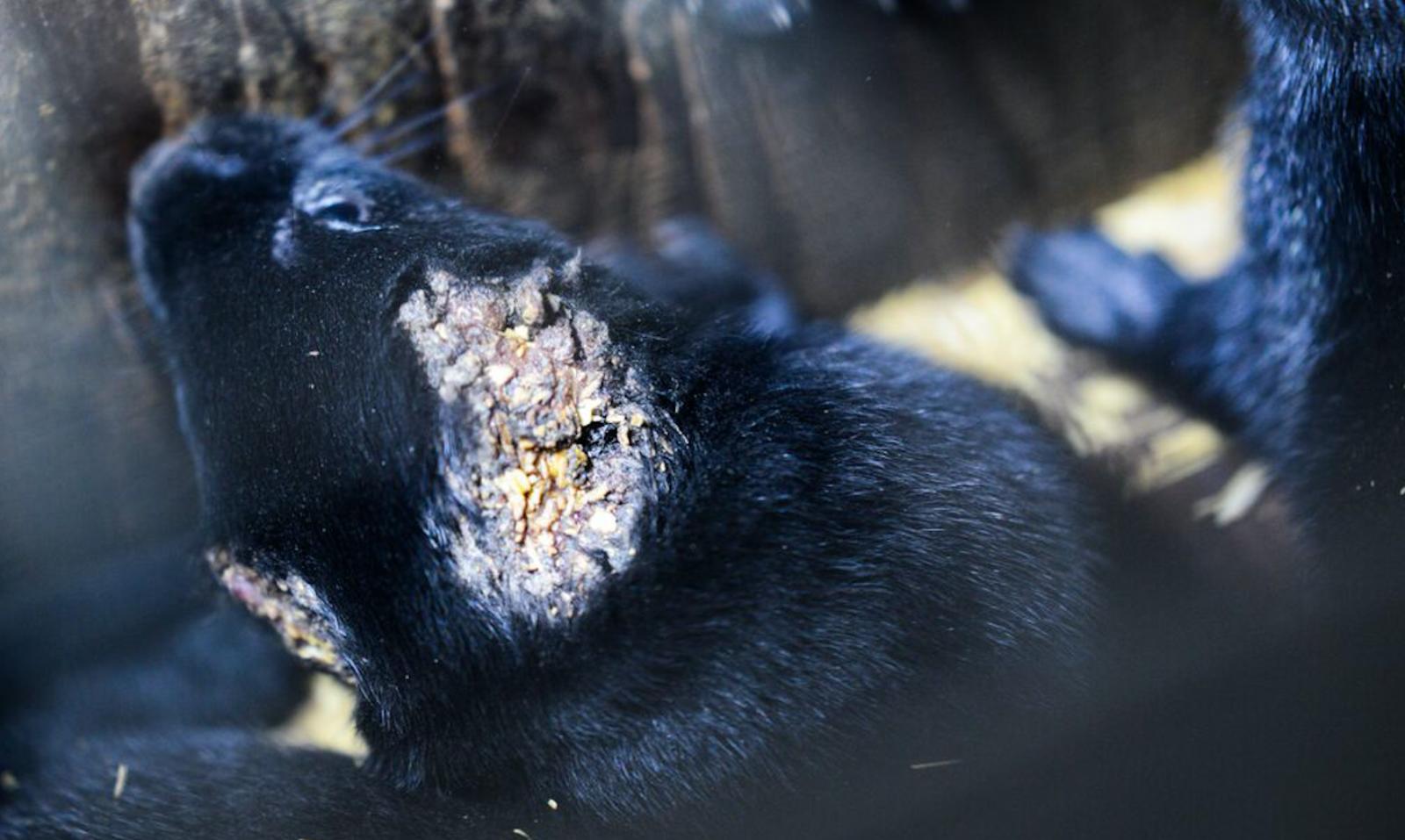 Mink farm, fur farm, Canada fur trade, fur industry, mink, fashion, animal cruelty, cannibalism