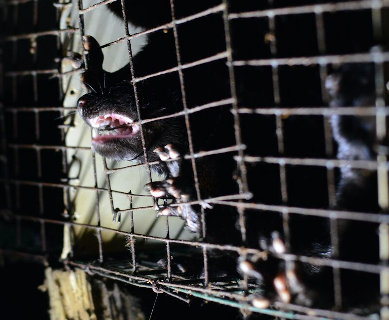 Mink farm, fur farm, Canada fur trade, fur industry, mink, fashion, animal cruelty, cannibalism