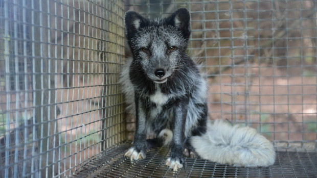 fur farm, animal cruelty, Quebec fur farm, Jean Luc Rodier, SPCA, fox fur