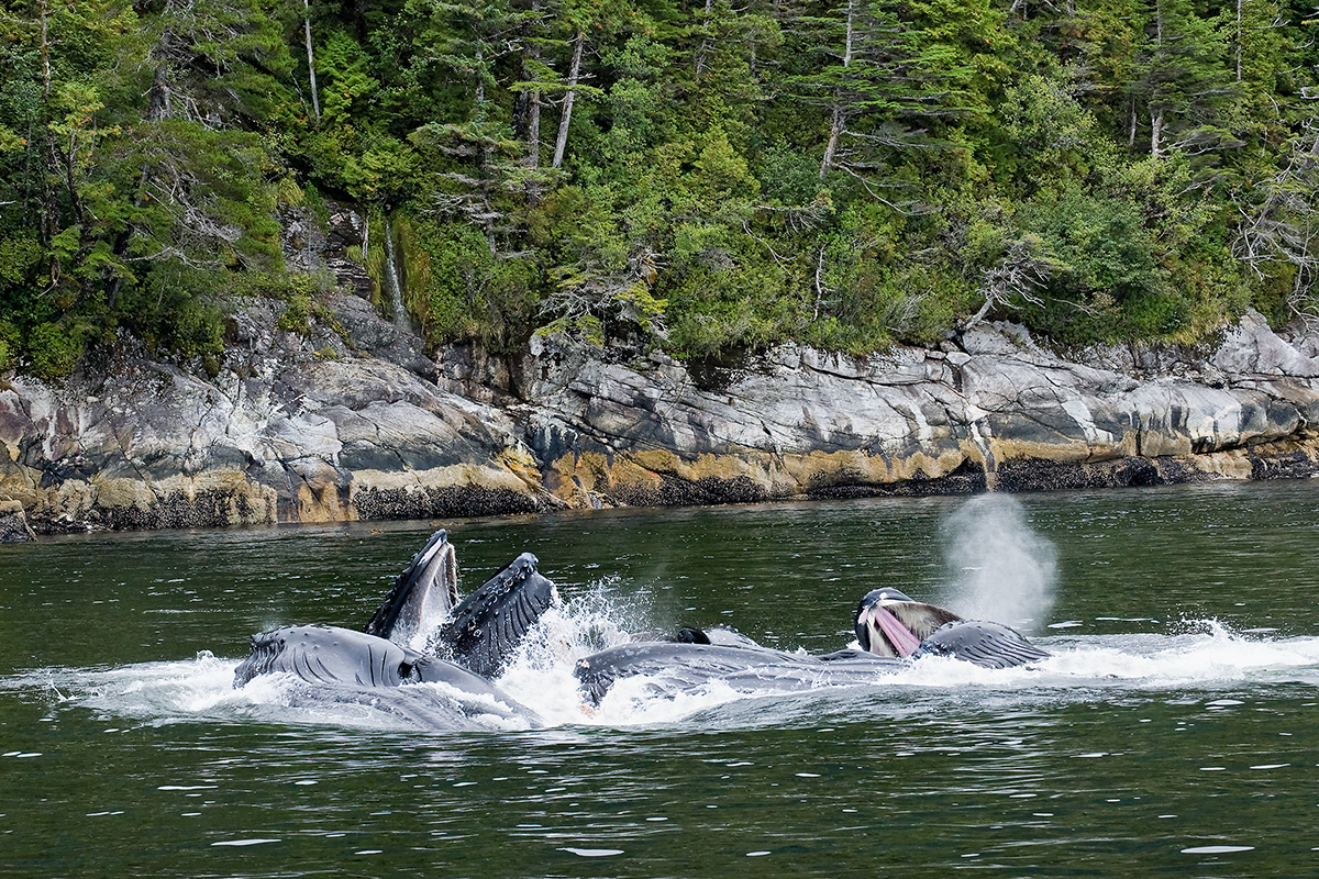 humpback whales, fin whales, Great Bear Rainforest, coastal temperate rainforest, B.C. wildlife