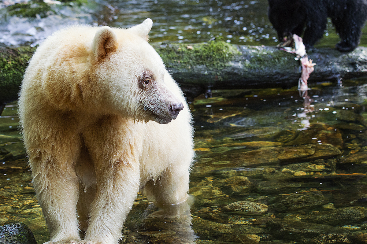 spirit bear, Kermode bear, Great Bear Rainforest