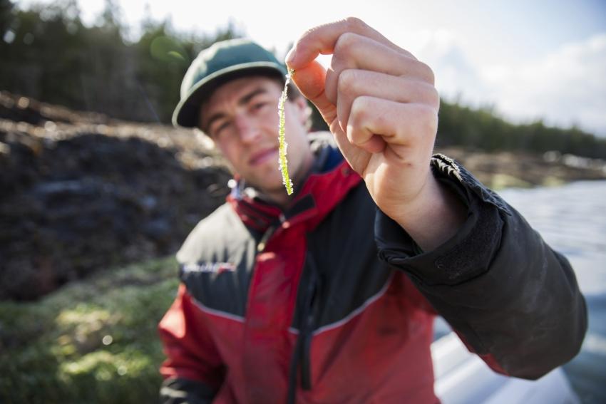Tavish Campbell snacks on herring roe eggs