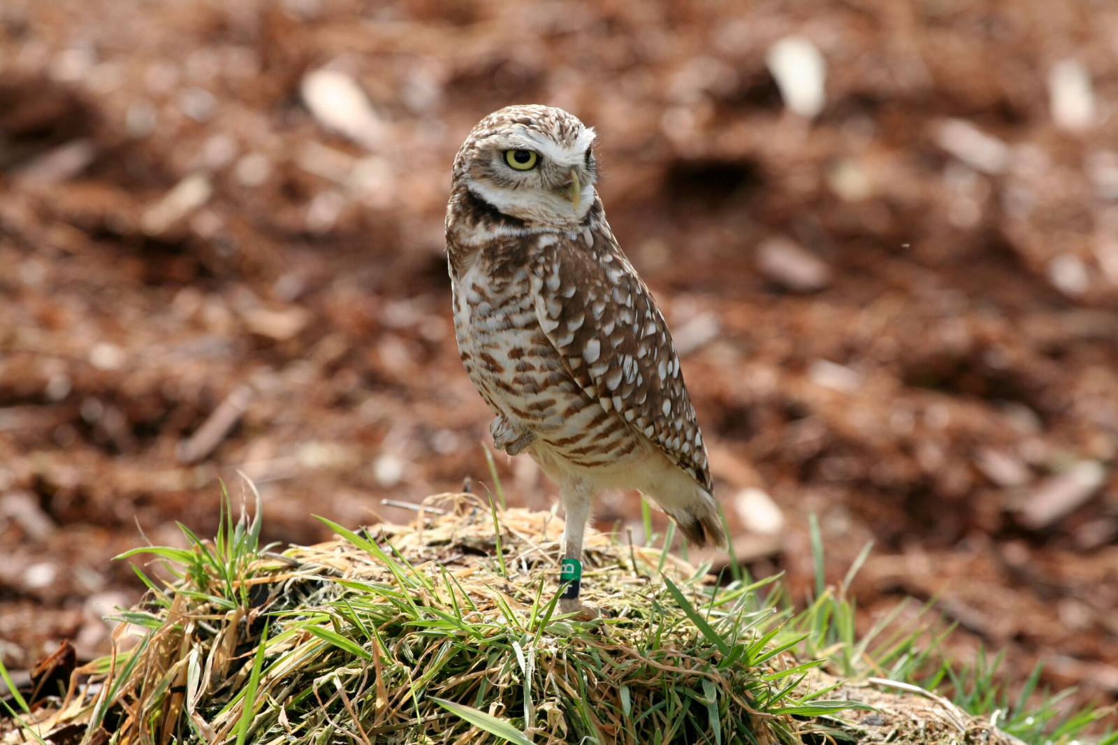 A burrowing owl in B.C. Photo by Burrowing Owl Winery
