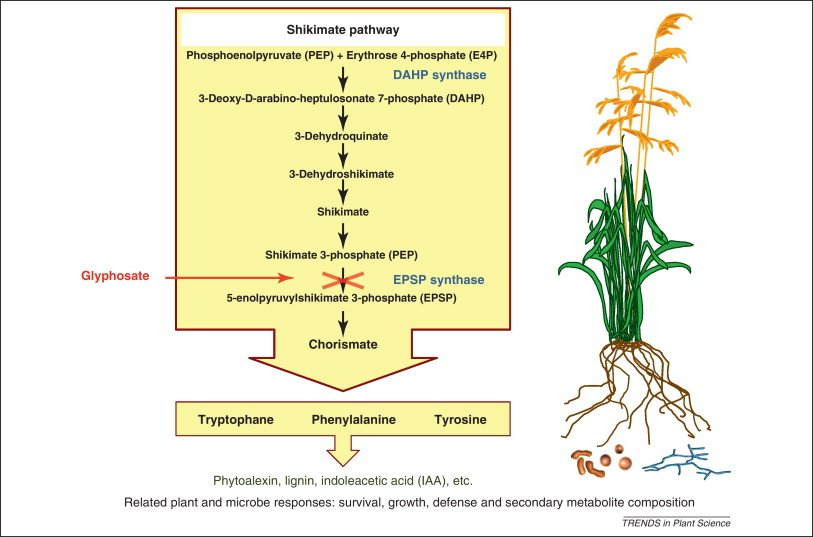 glyphosate affects the EPSPS enzyme only. Helander et al