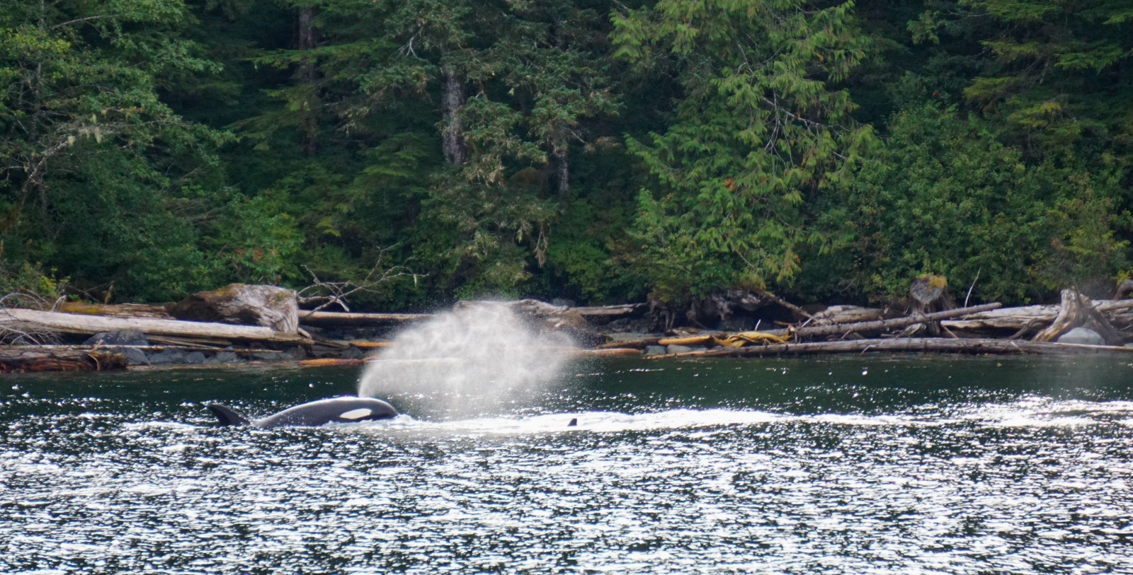 orca, killer whale, Southern Resident Killer whale, Great Bear Rainforest