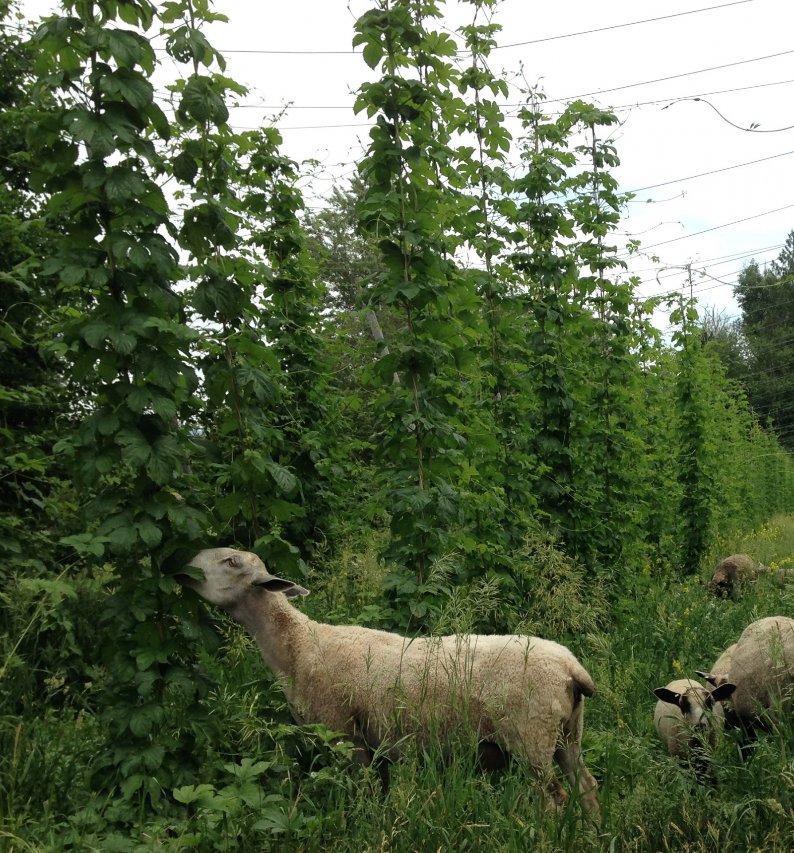 cranogg ales, beer, sheep, hops