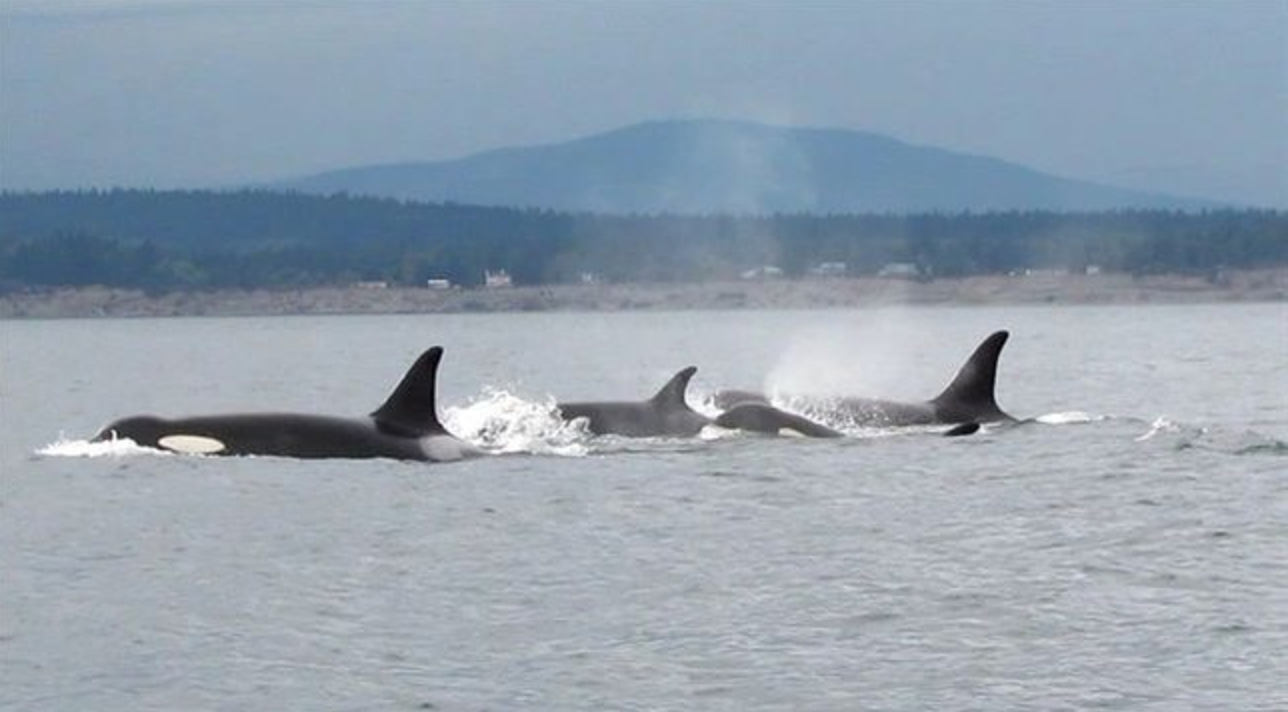Southern resident Killer whale, Pacific Ocean, British Columbia, Trans Mountain