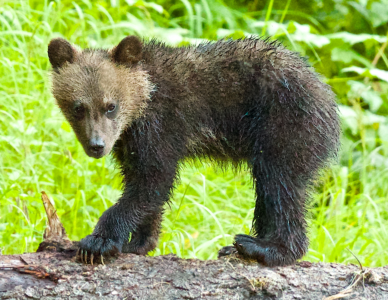 Four month-old spring grizzly cub. Photo by Trish Boyum Ocean Adventures Charter