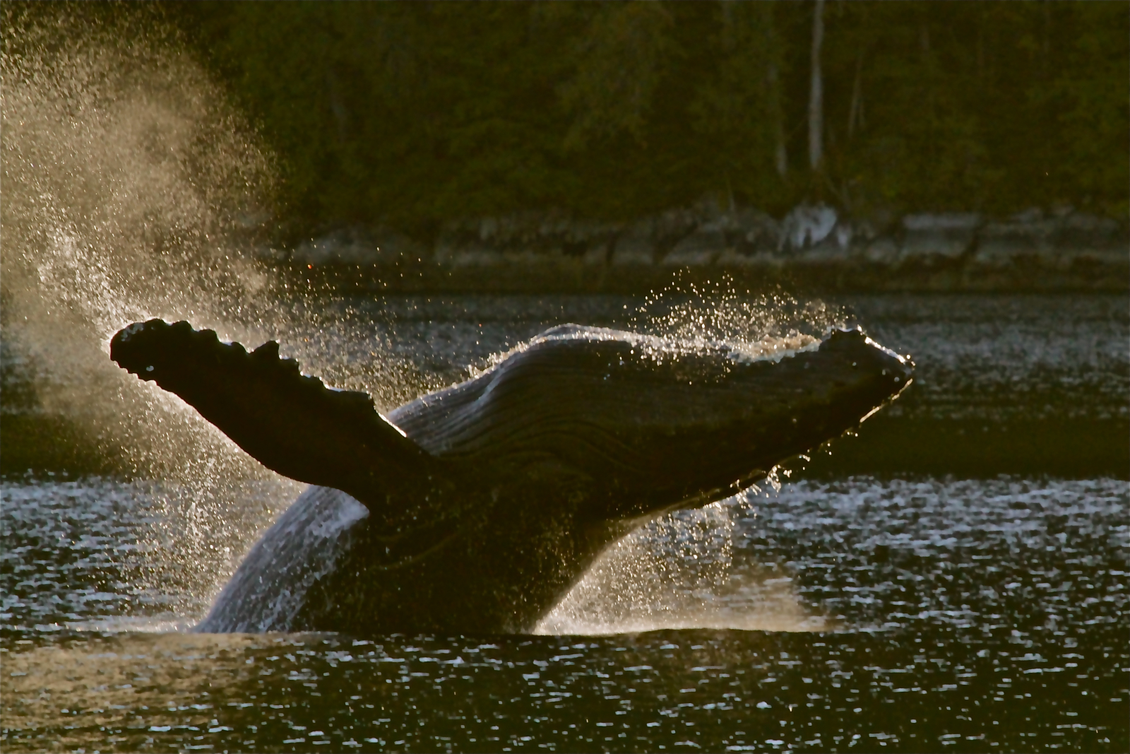 Humpback whale breeching at dusk. Photo by Trish Boyum.