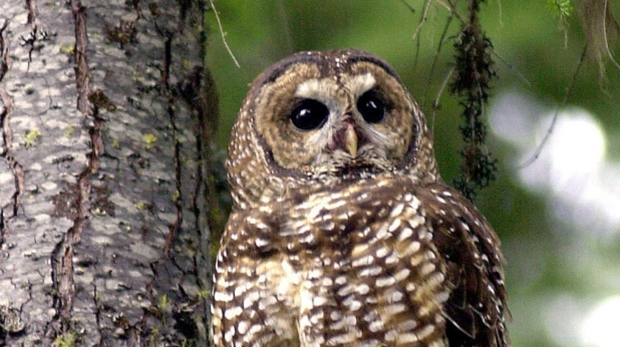northern spotted owl, species at risk, endangered species, wilderness committee