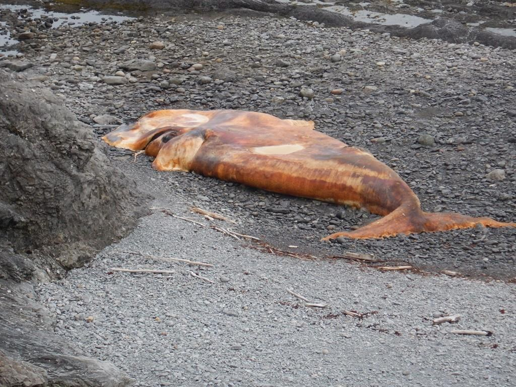 dead, North Atlantic right whale, River of Ponds, western Newfoundland