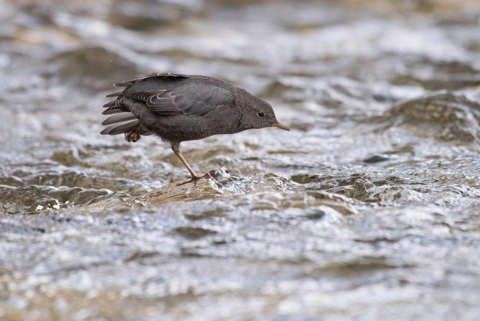 The American Dipper, or Water Ouzel, on the Highwood River just downstream of where logging will occur. Photo provided by Stephen Legault