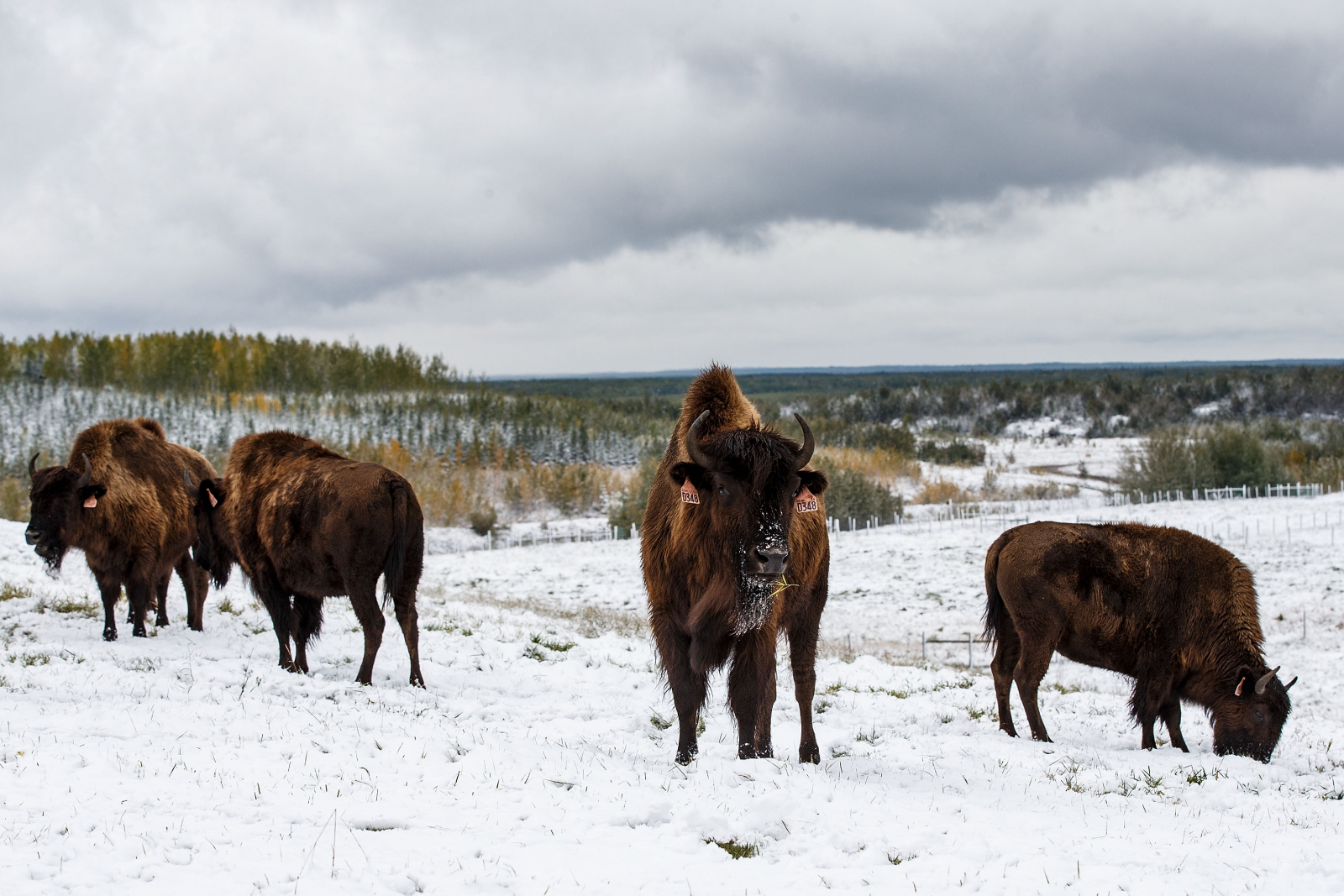 Wood Bison, Fort McMurray, Alberta