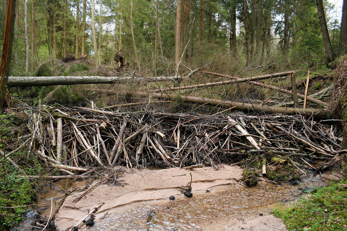 On an English Estate, reintroduced beavers could make a damn