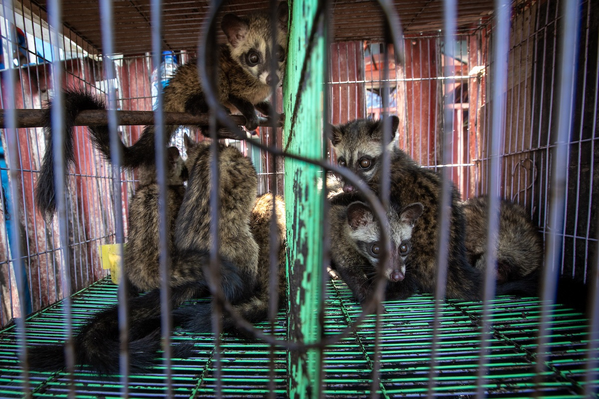 Caged civets