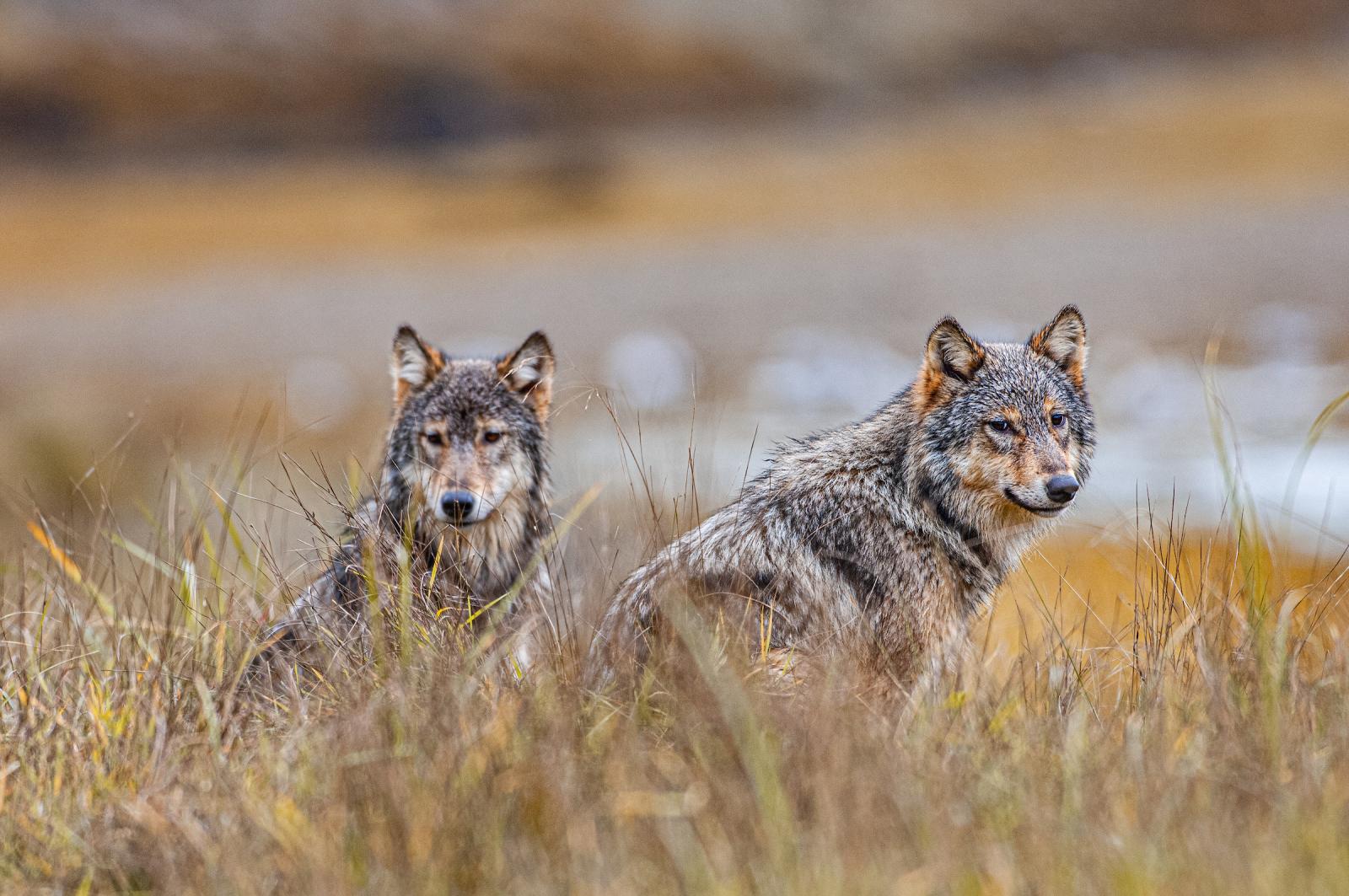 Dua serigala duduk di rerumputan tinggi.