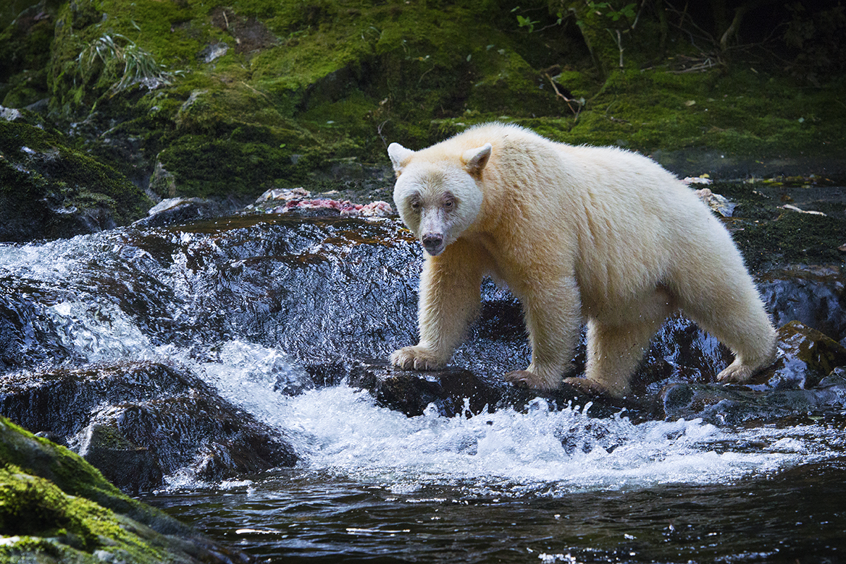 great bear rain forest How the great bear rainforest was formed, history and present day challenges.