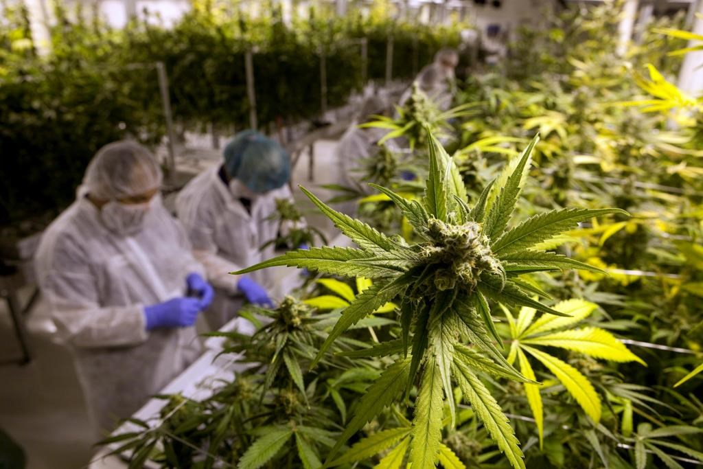 Марихуана иис марихуана в моче показатели
