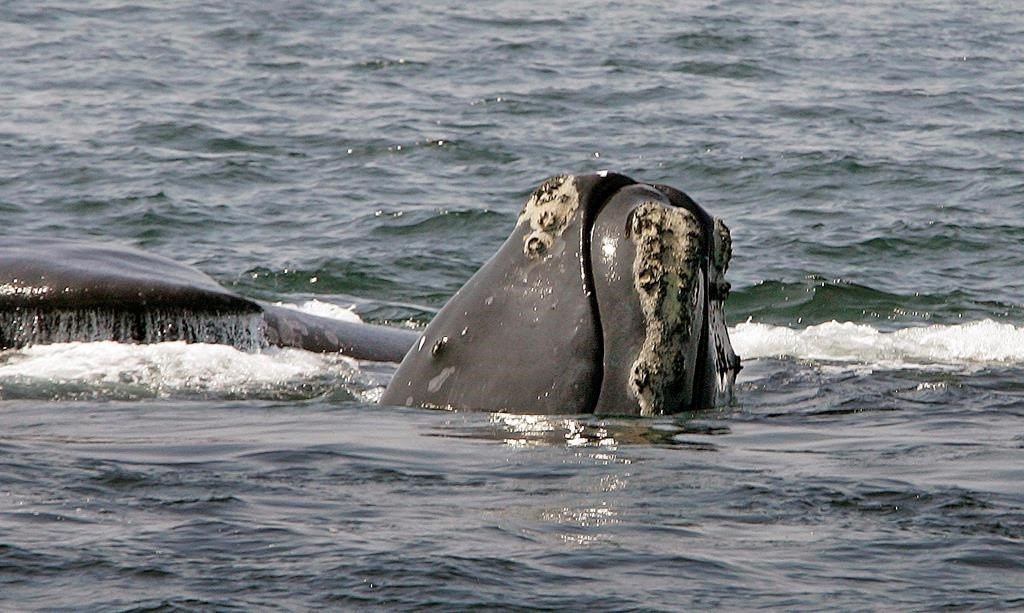 Endangered right whales could become extinct after an especially deadly year