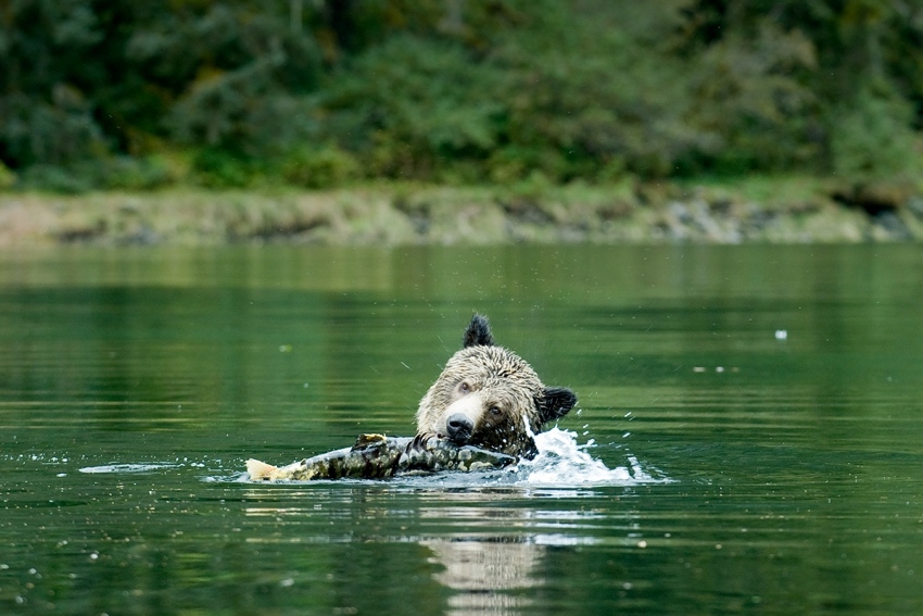 Canada's British Columbia province bans grizzly bear hunting