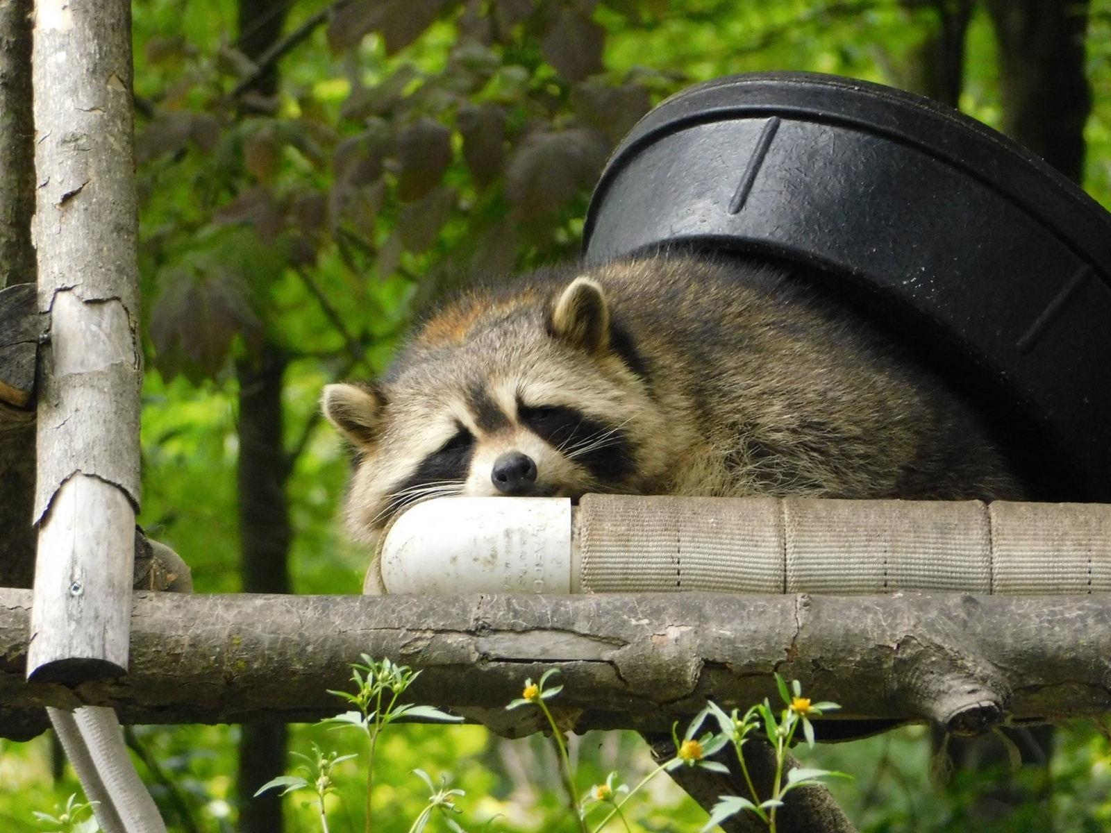 Raccoons Need Compassion Not Forks National Observer
