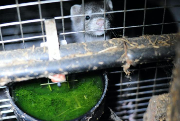 Fur-Bearers, fox farm, fox fur, mink farm, mink fur, fur industry, fur trade, animal cruelty