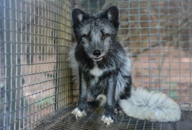 fur farm, animal cruelty, Quebec fur farm, Jean Luc Rodier, SPCA, fox fur