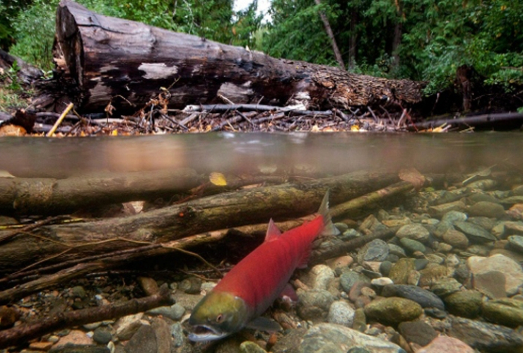sockeye salmon, Adams River, commercial fishing, oil spill, Kinder Morgan, Trans Mountain
