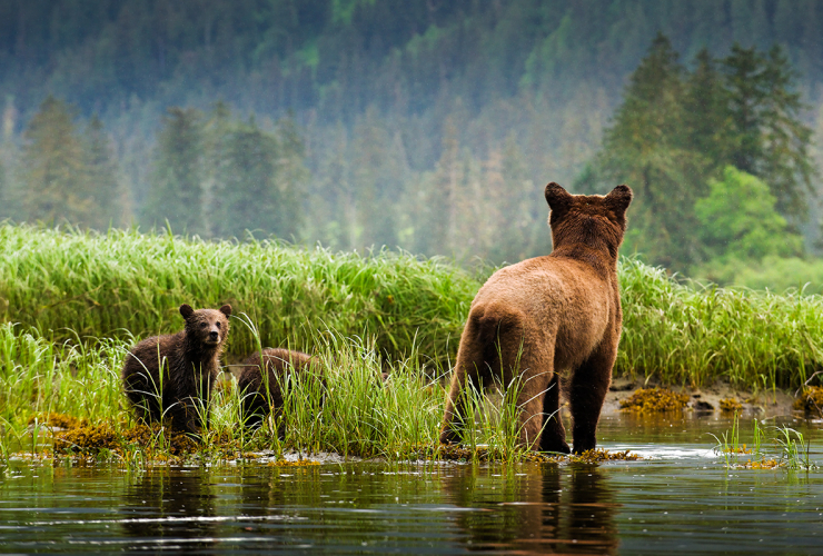 Great Bear Rainforest, trophy hunt, grizzly hunt, British Columbia, grizzly bears, grizzly cubs