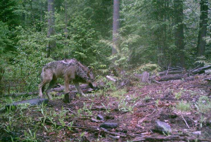 A photo of the wolf believed to the Judas wolf. Photo courtesy of Wildlife Defence League