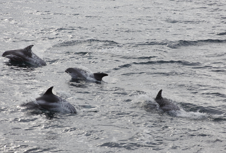 White Beaked Dolphins in Barents Sea. Photo courtesy of Sune Scheller / Greenpeace
