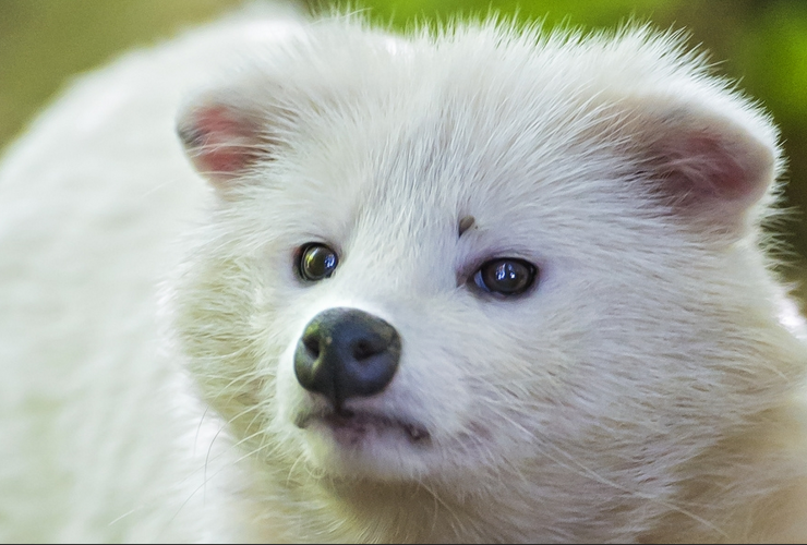 raccoon dog, Asiatic raccoon, fur industry, fur trade, China, fur farm, Kit and Ace