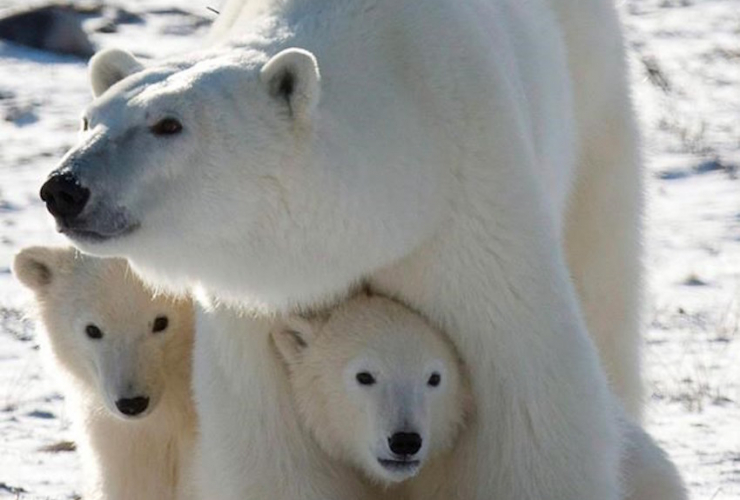 Breeding female polar bears are suffering most from effects of climate change: study