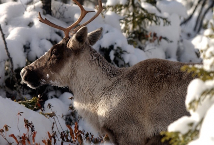 Woodland caribou, unlike its migratory cousin, stay in the same forest