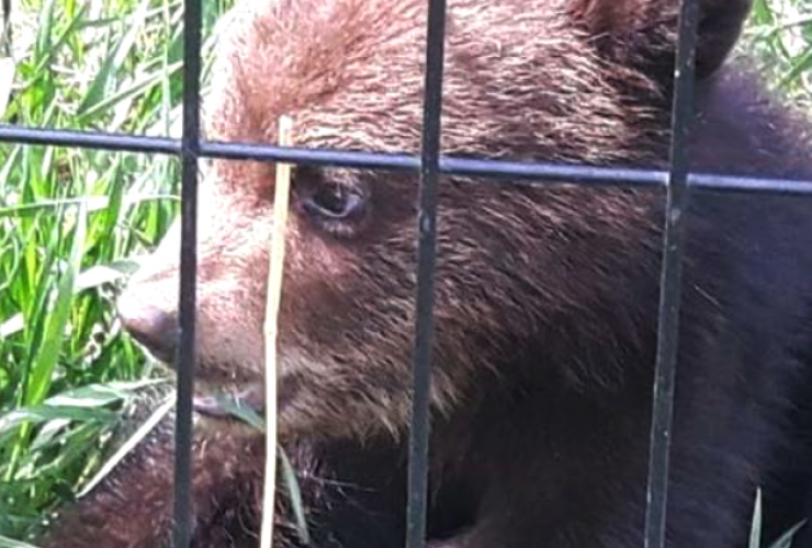 black bear, bear cub, wildlife, rehabilitation, animal rescue, Dawson Creek, conservation