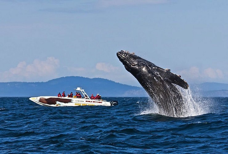 Humpback whale breaches the water. Photo from Eagle Wing Tours