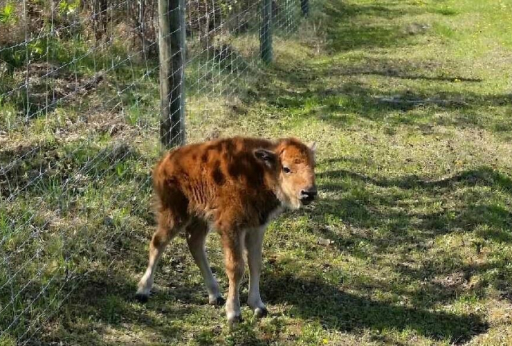 Fort McMurray, forest fires, climate change, bison