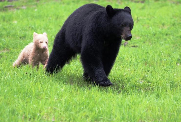 Black Bear, Whistler, cub