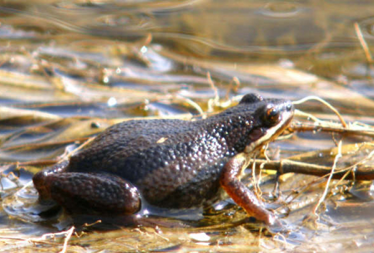 Western Chorus Frog, Environment and Climate Change Canada