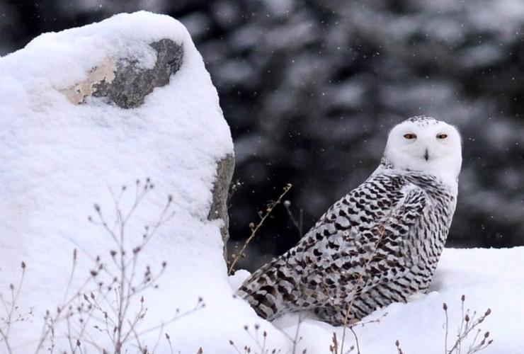 migratory birds, snowy oil, endangered species, Canadian birds