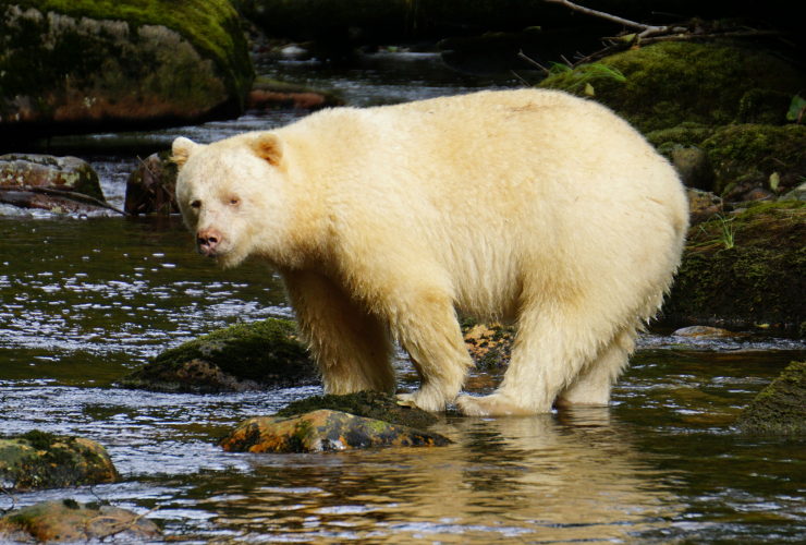 Spirit Bear, Elizabeth McSheffrey, Great Bear Rainforest