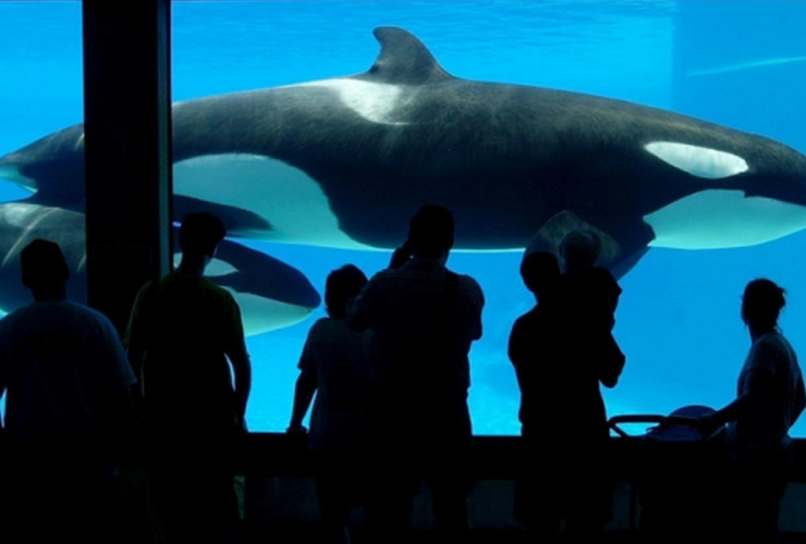 Marineland, Niagara Falls, killer whale, Toronto, animal cruelty